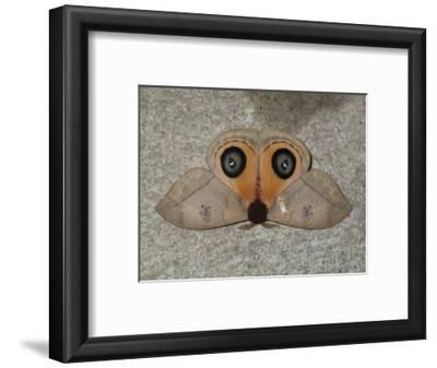 A Close Up View of an Owl Moth, Automeris Belti
