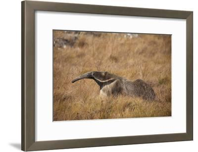 A Giant Anteater, Myrmecophaga Tridactyla, in a Grassland