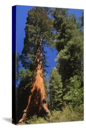 A Giant Sequoia Tree in Sequoia National Park