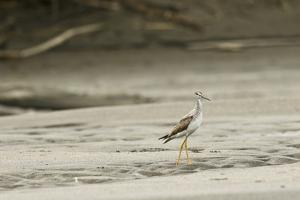 A Lesser Yellowlegs, Tringa Flavipes in Manu National Park by Cagan Sekercioglu