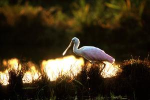 A Roseate Spoonbill, Platalea Ajaja, at Sunset in Palo Verde National Park by Cagan Sekercioglu