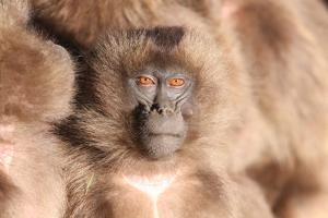 A Young Gelada Baboon, Theropithecus Gelada, Sitting with Another by Cagan Sekercioglu