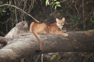 A Young Mountain Lion, Puma Concolor, Rests on a Fallen Tree by Cagan Sekercioglu