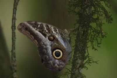 An Owl Butterfly on a Stem in the Rain Forest by Cagan Sekercioglu