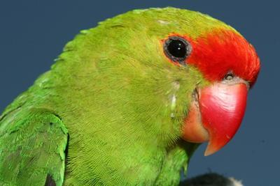 Close Up of a Black-Winged Lovebird, Agapornis Taranta