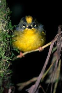 Close Up Portrait of a Golden-Crowned Warbler, Basileuterus Culicivorus by Cagan Sekercioglu