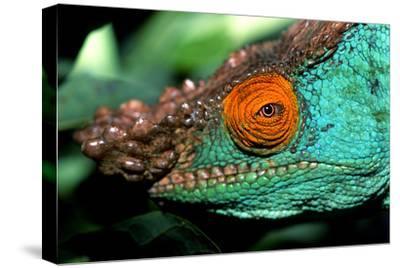 Close Up Portrait of a Male Parson's Chameleon, Callumma Parsonii