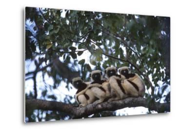 Four Coquerel's Sifaka Lemurs, Propithecus Coquereli, Sitting on a Tree Branch