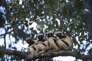 Four Coquerel's Sifaka Lemurs, Propithecus Coquereli, Sitting on a Tree Branch by Cagan Sekercioglu