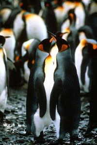 King Penguins, Aptenodytes Patagonicus, in a Rookery by Cagan Sekercioglu