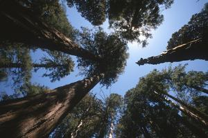 Low Angle View of Giant Sequoia Trees by Cagan Sekercioglu