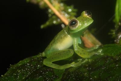 Male Centrolenela Prosoblepon Frog, with Humeral Hook by Cagan Sekercioglu