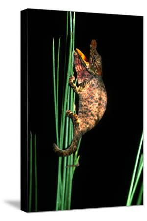 Portrait of a Big-Nosed (Or Nose-Horned) Chameleon, Calumma Nasutum, Clinging to Pine Needles