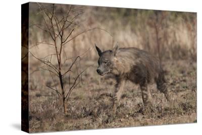 Portrait of a Brown Hyena, Hyaena Brunnea