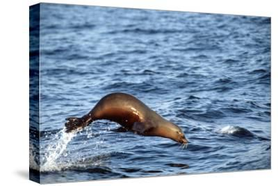 Sea Lion Leaping Above Water