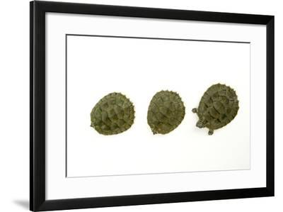 Cagle's Map Turtles, Graptemys Caglei.-Joel Sartore-Framed Photographic Print