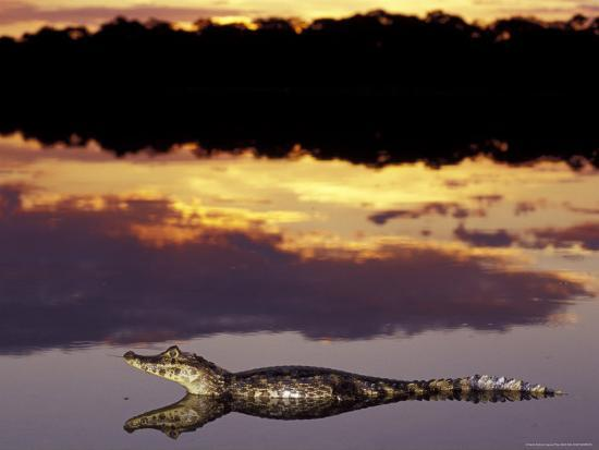 Caiman in Lagoon at Sunset, Pantanal, Brazil-Theo Allofs-Photographic Print