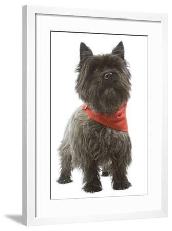Cairn Terrier Wearing Handkerchief--Framed Photographic Print