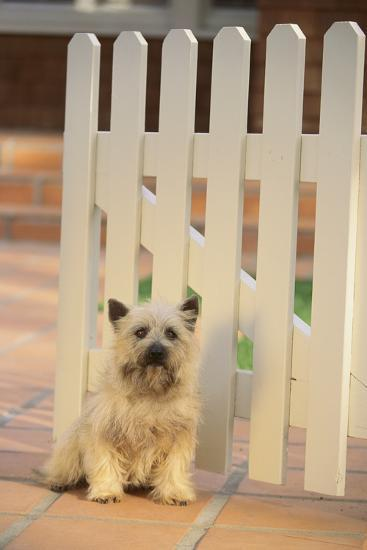Cairn Terrier-DLILLC-Photographic Print