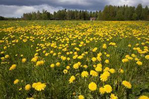 Field of Dandelions (Taraxacum Sp) in Flower, Bergslagen, Sweden, June 2009 by Cairns