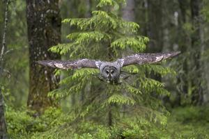 Great Grey Owl (Strix Nebulosa) in Flight in Boreal Forest, Northern Oulu, Finland, June 2008 by Cairns
