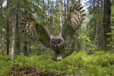 Great Grey Owl (Strix Nebulosa) in Flight in Boreal Forest, Northern Oulu, Finland, June 2008
