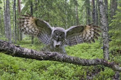 Great Grey Owl (Strix Nebulosa) Landing on Branch, Oulu, Finland, June 2008
