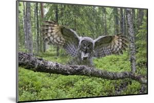 Great Grey Owl (Strix Nebulosa) Landing on Branch, Oulu, Finland, June 2008 by Cairns
