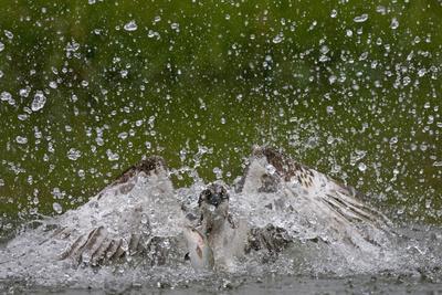 Osprey (Pandion Haliaetus) Fishing, Kangasala, Finland, August 2009