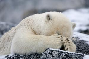 Polar Bear (Ursus Maritimus) with Paws Covering Eyes, Svalbard, Norway, September 2009 by Cairns