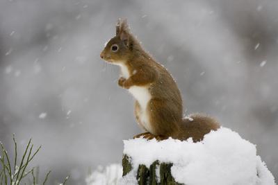 Red Squirrel (Sciurus Vulgaris) in Snow, Glenfeshie, Cairngorms Np, Scotland, February