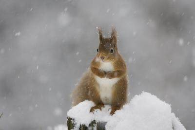 Red Squirrel Sitting on Snow Covered Tree Stump, Glenfeshie, Cairngorms Np, Scotland, February