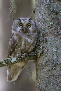 Tengmalms Owl (Aegolius Funereus) Perched in Tree, Bergslagen, Sweden, June 2009 by Cairns