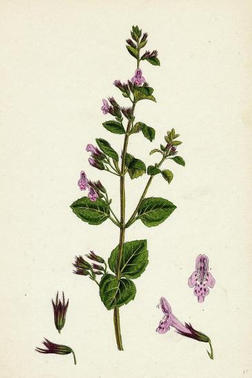 Calamintha Menthifolia Var. Briggsii Common Calamint Var. B--Giclee Print