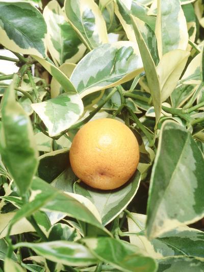 Calamondin Fruit-Sunniva Harte-Photographic Print