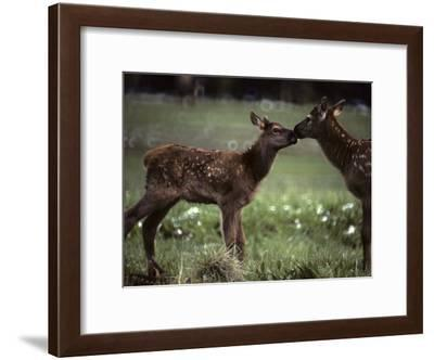 Calf Elk Get to Know Each Other-Michael S^ Quinton-Framed Photographic Print