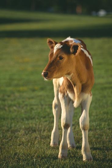 Calf Standing in Field-DLILLC-Photographic Print