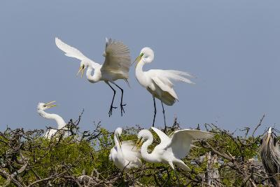 Calhoun County, Texas. Great Egret at Colonial Nest Colony-Larry Ditto-Photographic Print