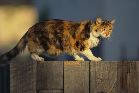 Calico Cat Walking on Fence-DLILLC-Photographic Print
