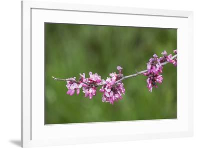 California. A western redbud tree, bursts with blossoms in the sierra foothills.-Brenda Tharp-Framed Photographic Print