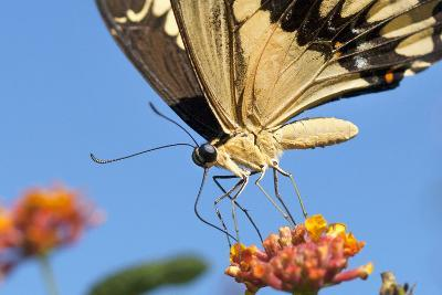 California. Anise Swallowtail Butterfly on Flower-Jaynes Gallery-Photographic Print