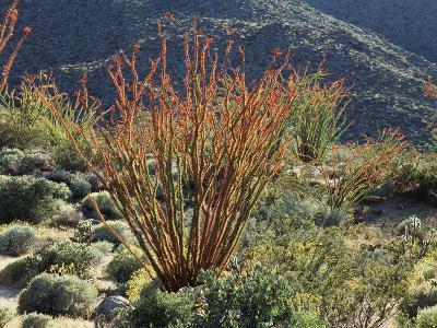 California, Anza Borrego Desert Sp, Blooming Ocotillos in the Desert-Christopher Talbot Frank-Photographic Print