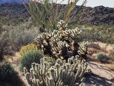 California, Anza Borrego Desert Sp, Desert Vegetation-Christopher Talbot Frank-Photographic Print