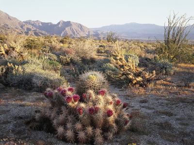 California, Anza Borrego Desert Sp, Hedgehog and Barrel Cactus-Christopher Talbot Frank-Photographic Print
