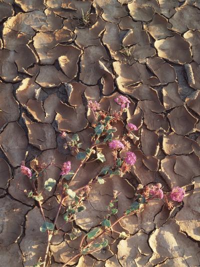 California, Anza Borrego Desert Sp, Sand Verbena in Cracked Mud-Christopher Talbot Frank-Photographic Print