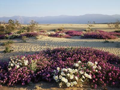 California, Anza Borrego Desert Sp, Wildflowers on a Sand Dune-Christopher Talbot Frank-Photographic Print