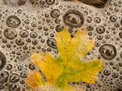 California Black Oak Leaf in a Stream in Autumn, Stanislaus National Forest Reserve, California-Phil Schermeister-Photographic Print