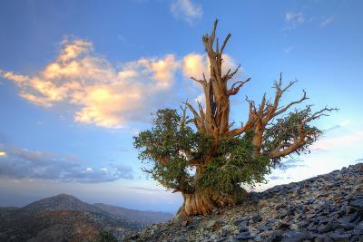 California. Bristlecone Pine Tree in White Mountains-Jaynes Gallery-Photographic Print