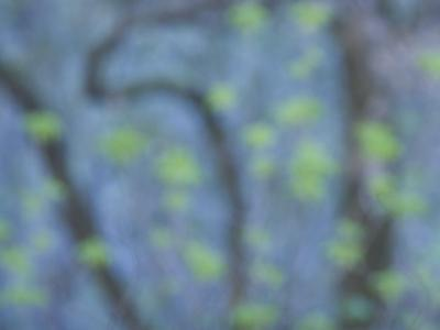 California Buckeye Leaves Emerge in Spring in Western Yosemite-Phil Schermeister-Photographic Print