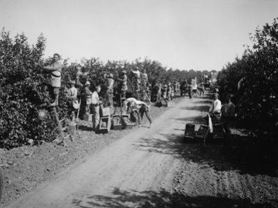 California Citrus Heritage Recording Project, Workers Harvesting Oranges, Riverside County, 1930